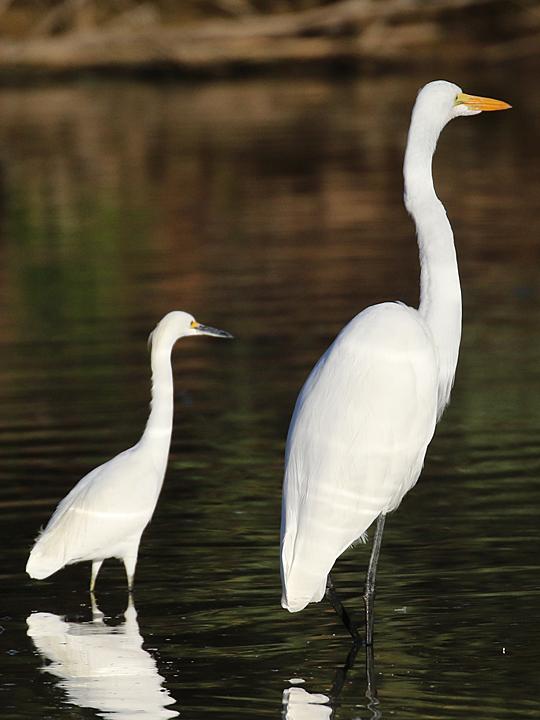 Snowy Egret v Great Egret