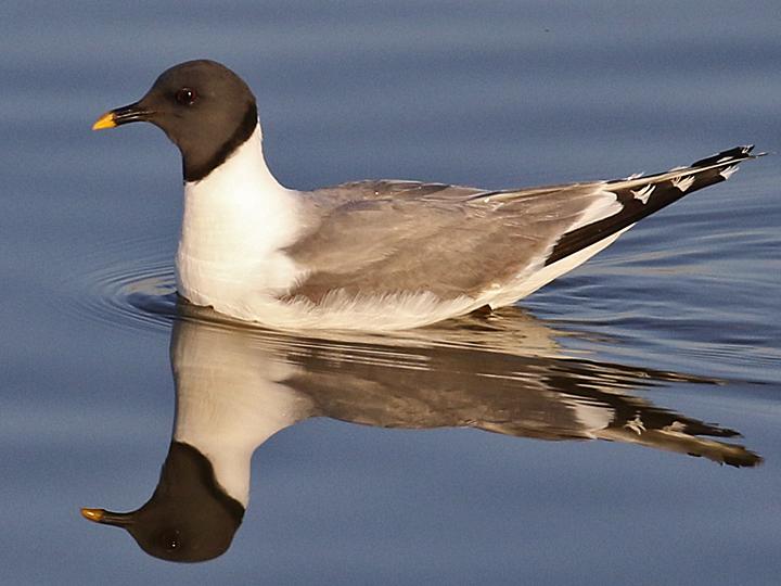 Sabine's Gull SAGU