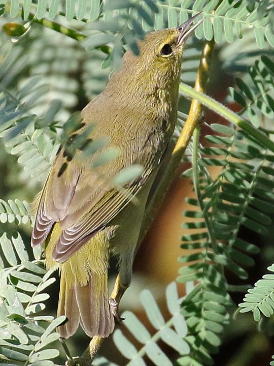 Orange-crowned Warbler OCWA