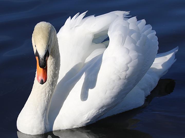 Mute Swan MUSW