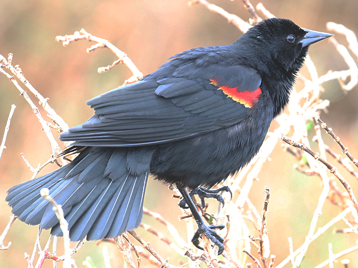 Red-winged Blackbird RWBL