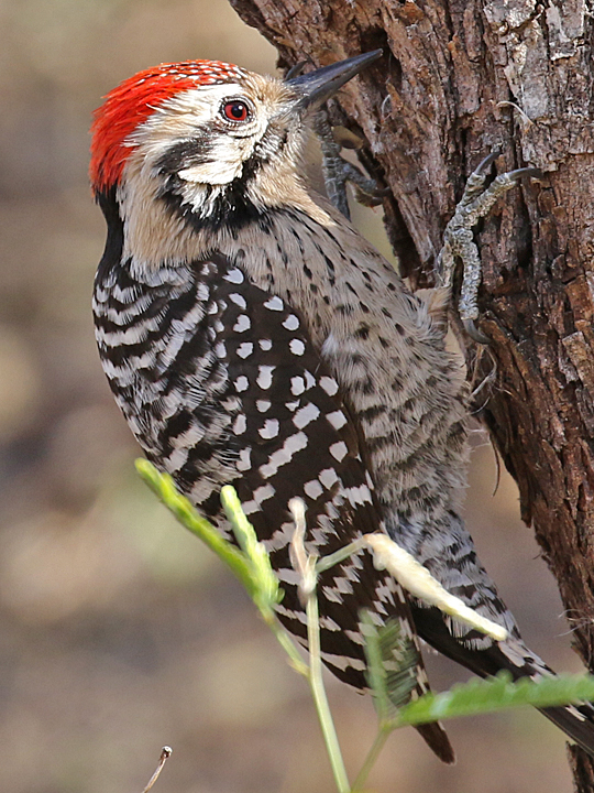 Ladder-backed Woodpecker LBWO