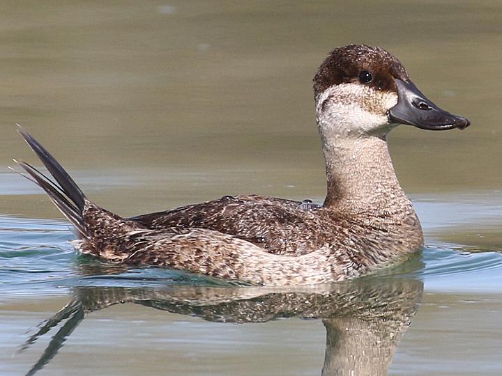 Ruddy Duck RUDU