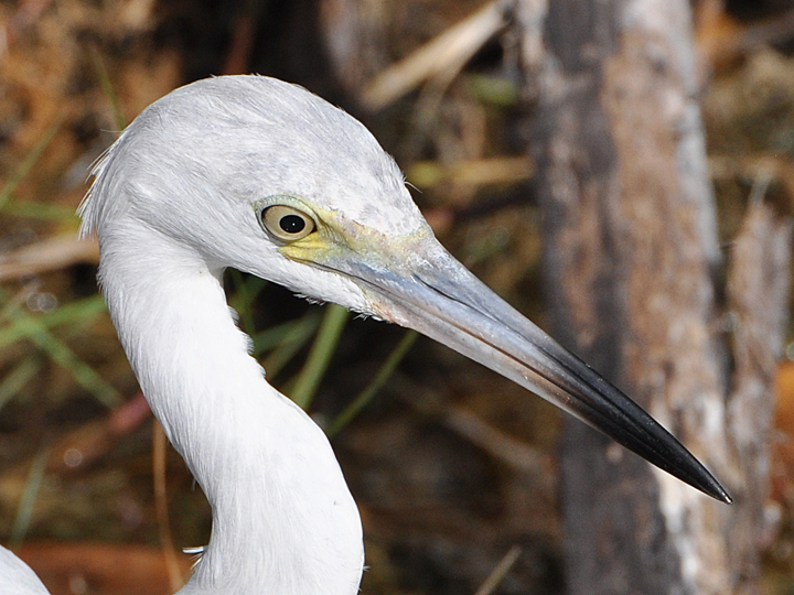 Little Blue Heron LBHE
