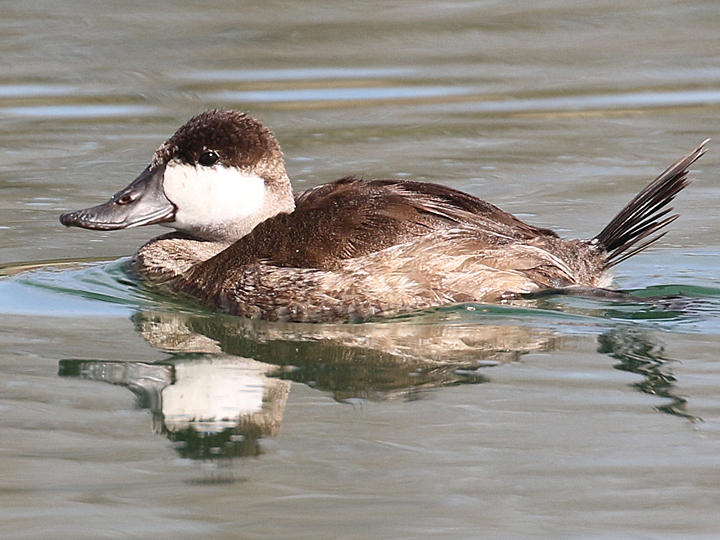Ruddy Duck RUDU