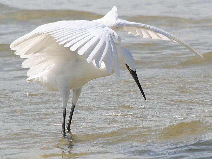 Reddish Egret REEG White Morph