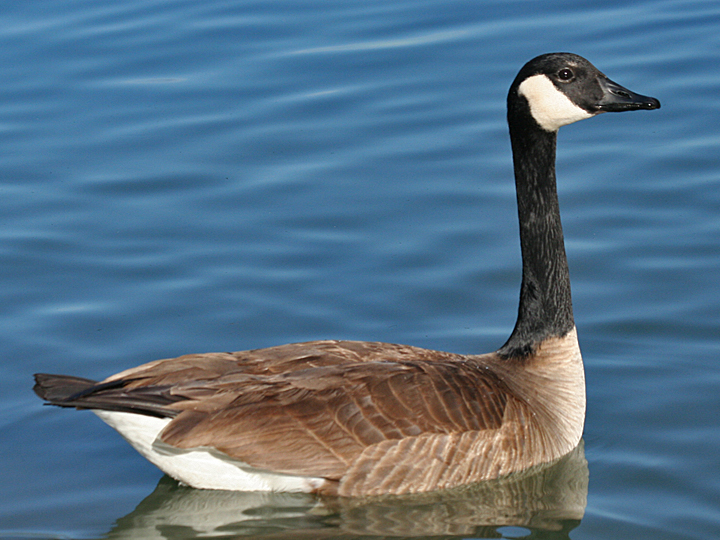 Canada Goose CAGO