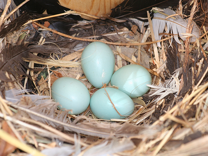 European Starling EUST eggs