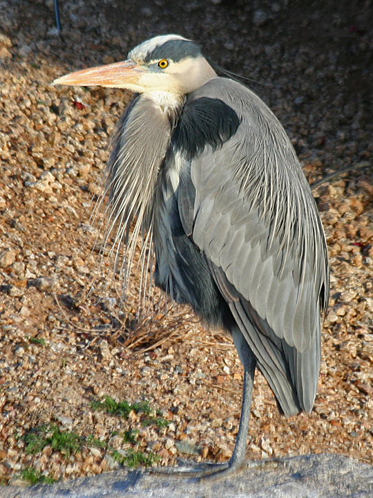 Great Blue Heron GBHE