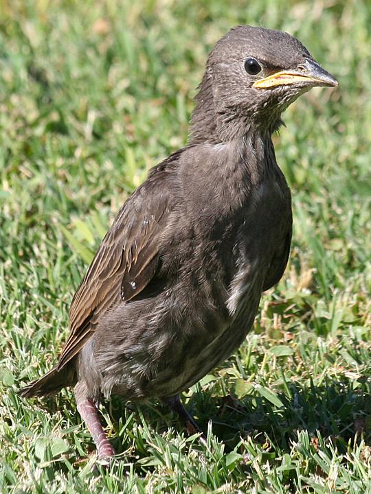 European Starling EUST Juvenile