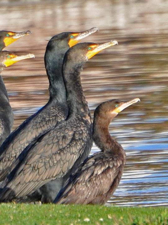 Neotropic Cormorant NECO