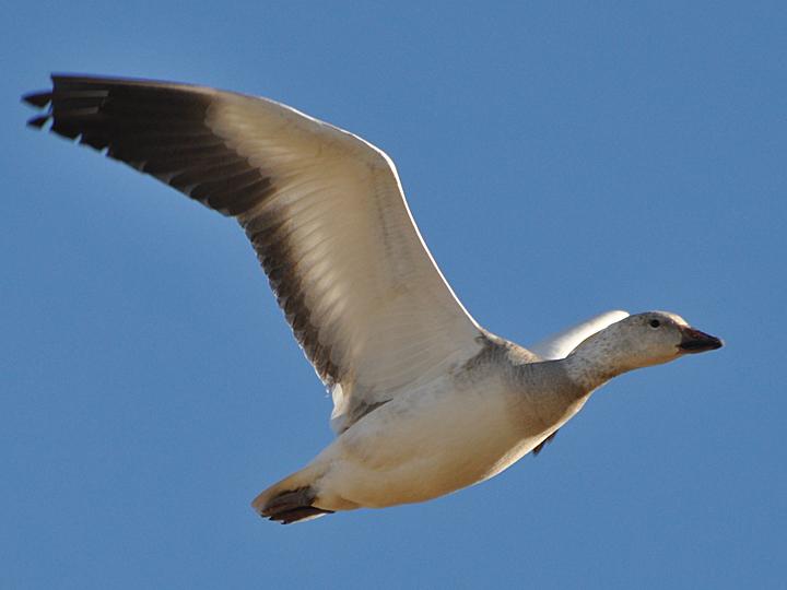 Snow Goose SNGO
