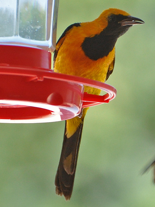Hooded Oriole HOOR male