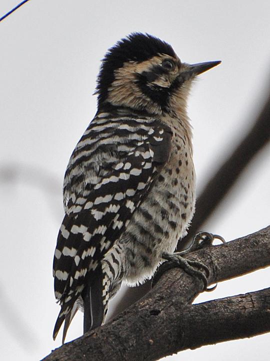Ladder-backed Woodpecker LBWO