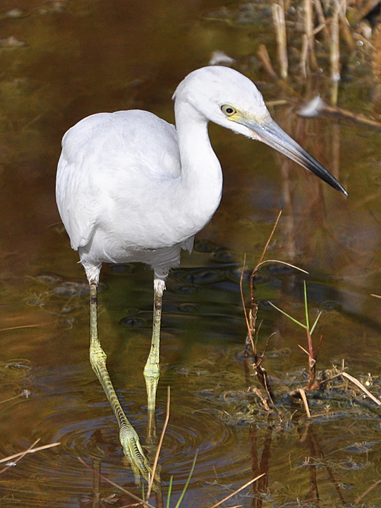 Little Blue Heron juvenile LBHE