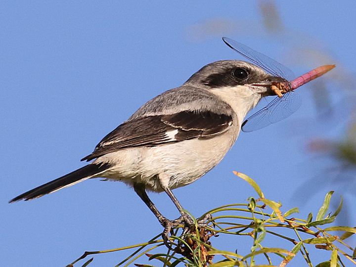 Loggerhead Shrike LOSH