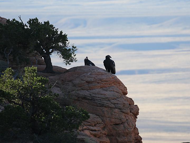 California Condor CACO