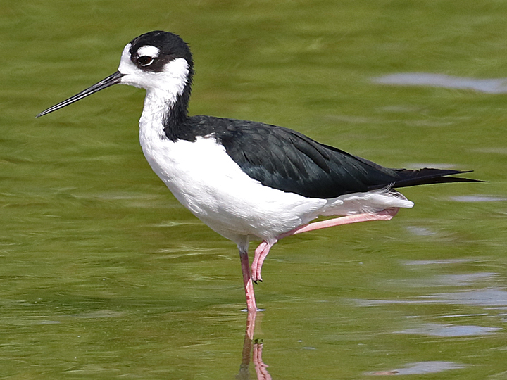 Black-necked Stilt BNST