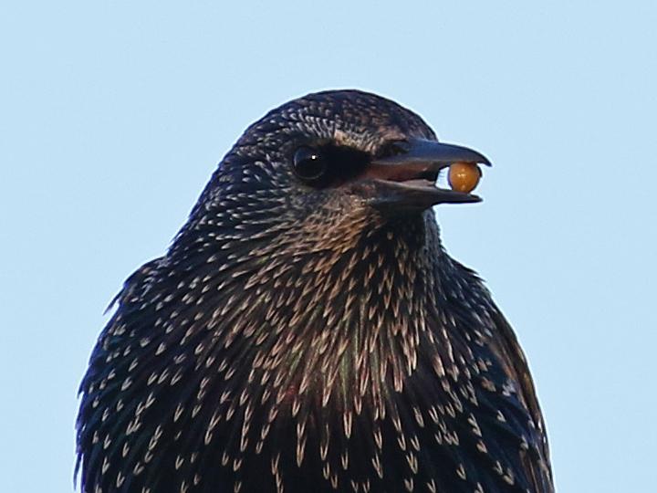 European Starling EUST
