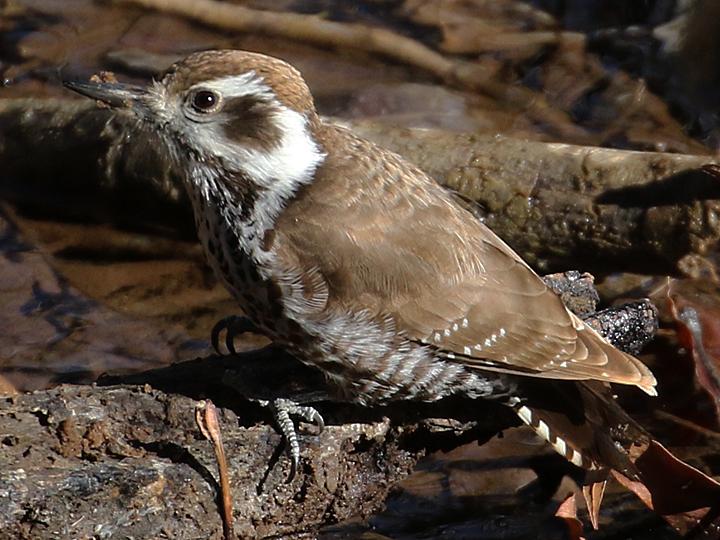 Arizona Woodpecker AZWO
