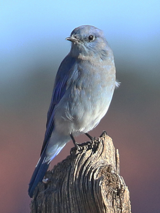 Mountain Bluebird MOBL