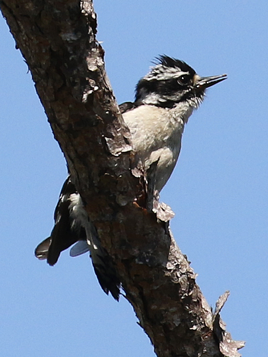 Downy Woodpecker DOWO