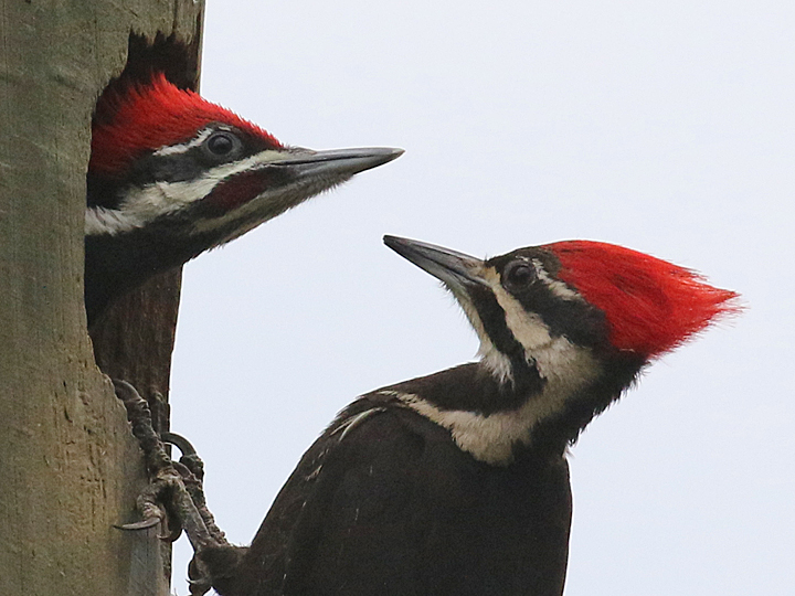 Pileated Woodpecker PIWO