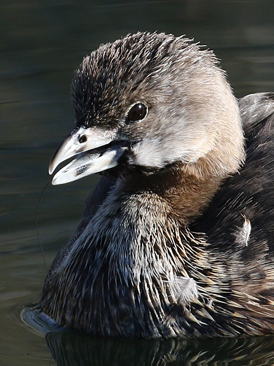 Pied-billed Grebe PBGR