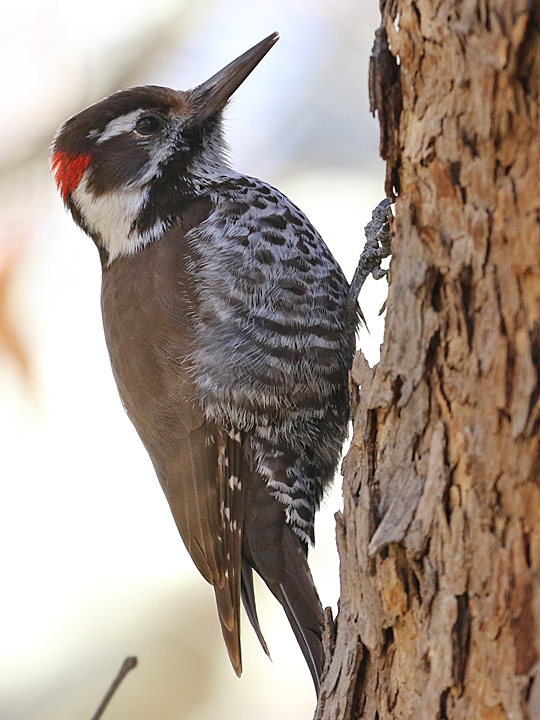 Arizona Woodpecker AZWO