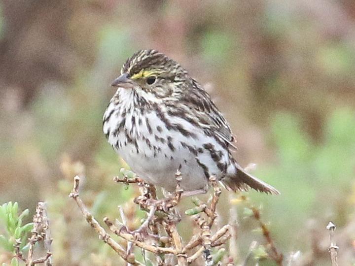 Savanah Sparrow SAVS