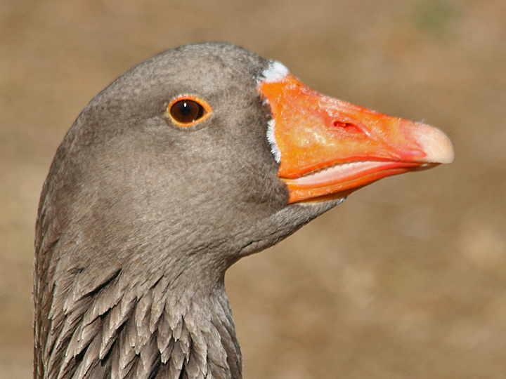 Greylag Goose Domestic