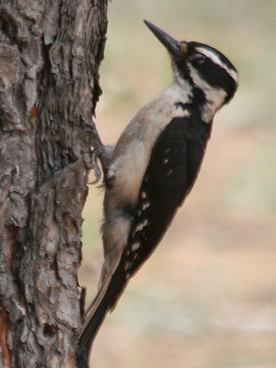 Hairy Woodpecker HAWO