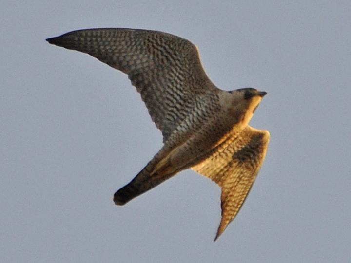 Peregrine Falcon PEFA