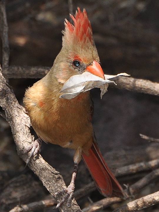 Northern Cardinal NOCA