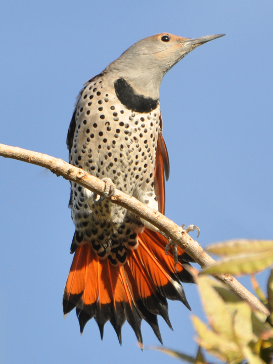 Northern Flicker NOFL