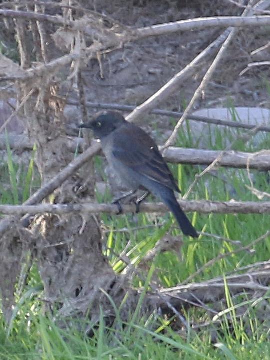 Rusty Blackbird RUBL