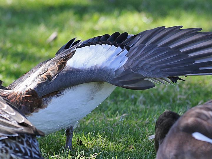 Eurasian Wigeon EUWI