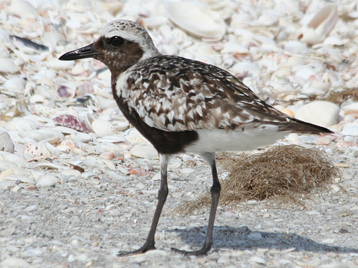 Black-bellied Plover BBPL