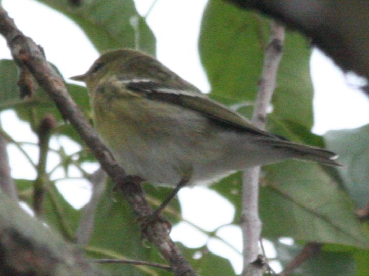 Blackpoll Warbler BLPW