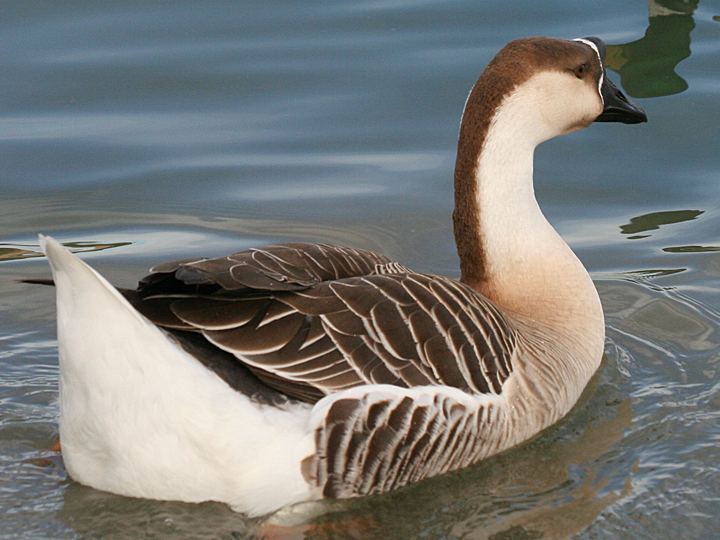 Chinese Goose Domestic