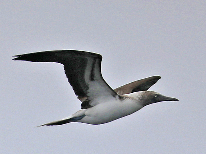 Blue-footed Booby BFBO