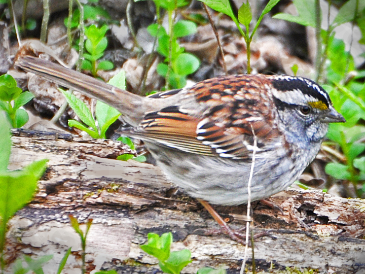 White-throated Sparrow WTSP