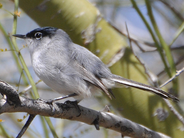 Black-tailed Gnatcatcher BTGN