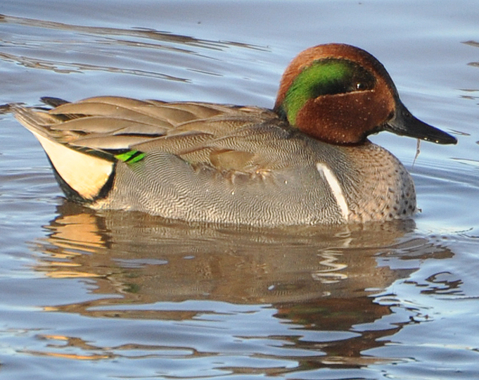 Green-winged Teal GWTE