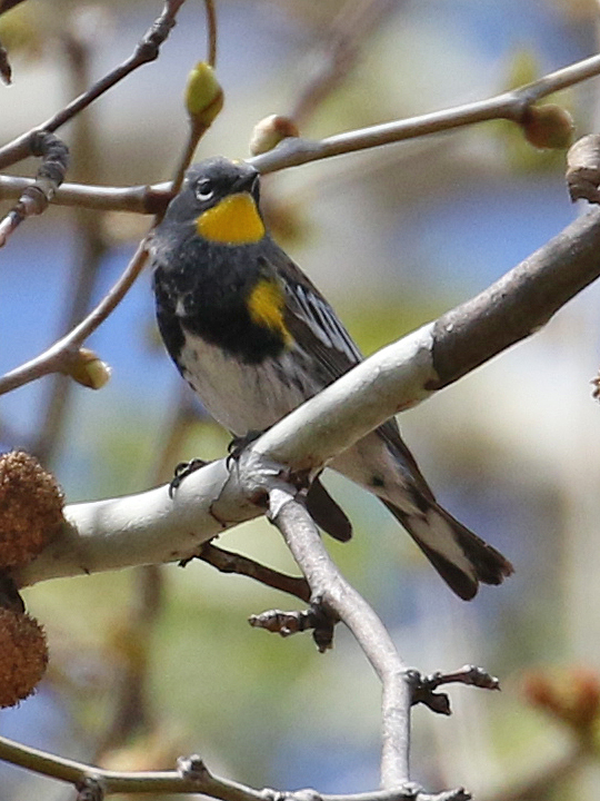 Yellow-rumped Warbler YRWA