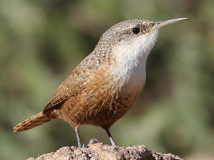 Canyon Wren CANW