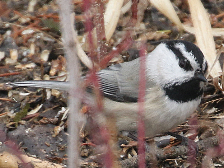 Mountain Chickadee MOCH