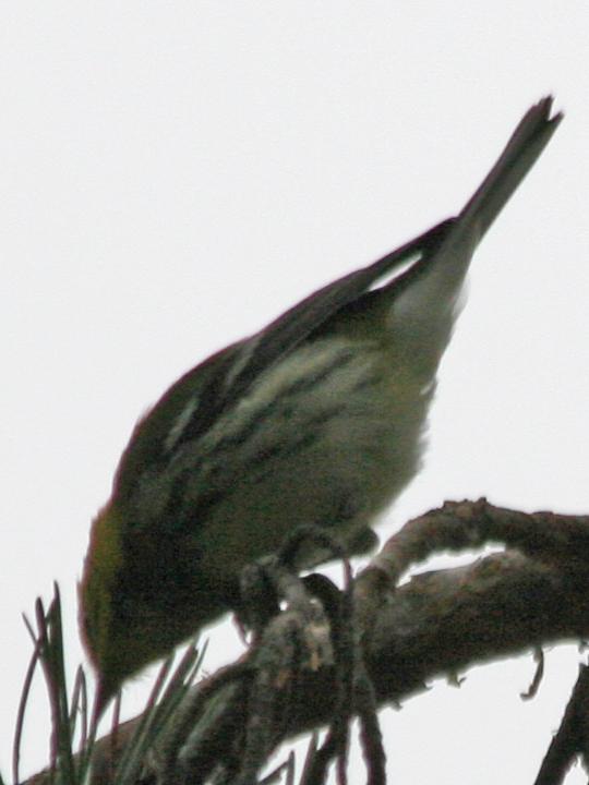 Black-throated Green Warbler BTNW