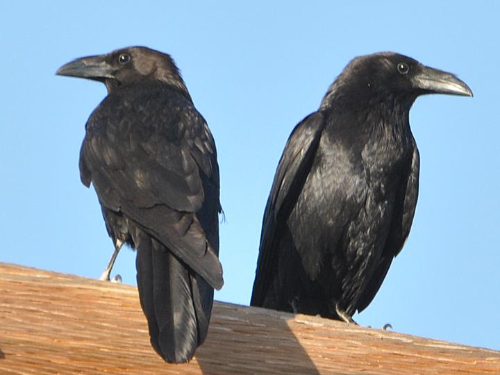 Chihuahuan Raven CHRA