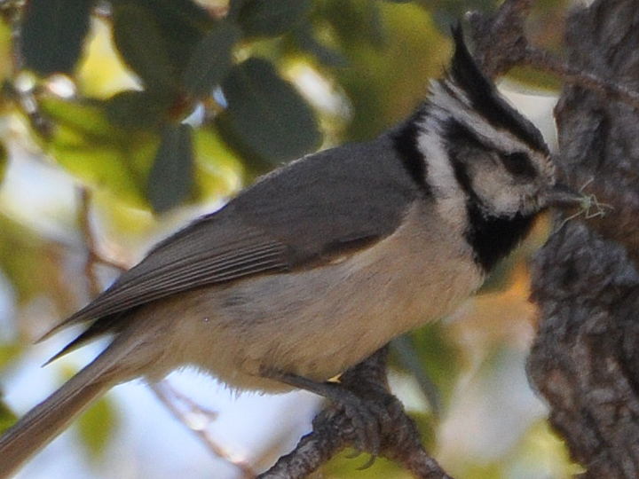 Bridled Titmouse BRTI